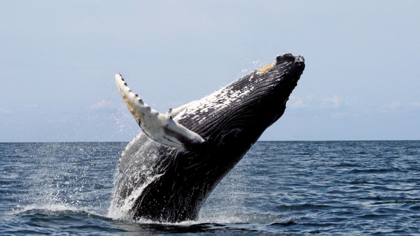 hosszúszárnyú bálna